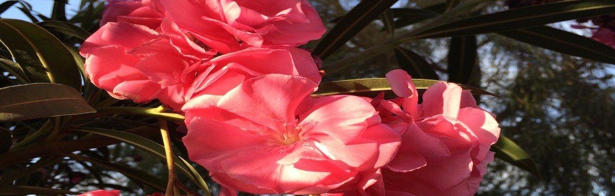 Oleander flowers Cape Verde