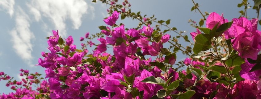 Bougainvillea in Sal