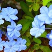 Blue flowers on Sal island