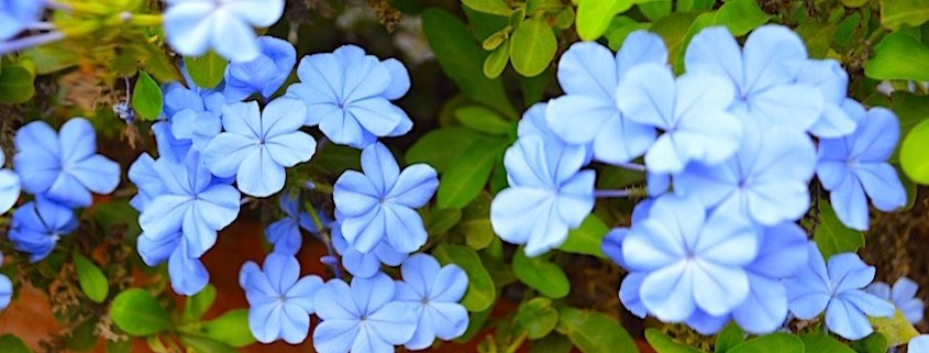 Blue flowers on Sal island