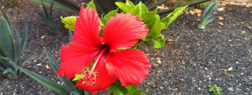 Hibiscus on island of Maio