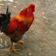 Maio chicken