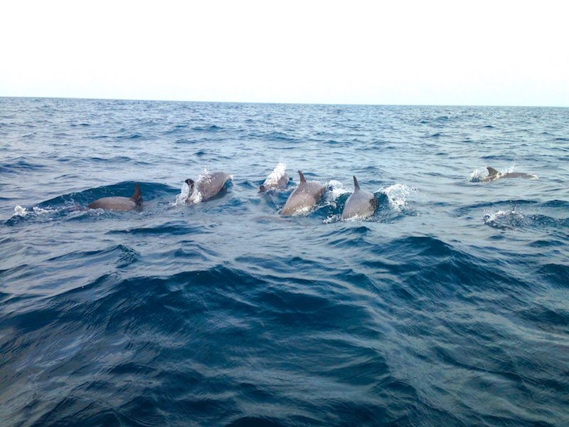 Dolphins off Sal Cape Verde