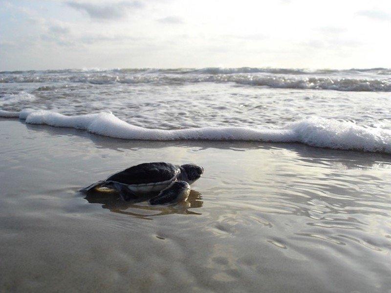Turtles Sal island, Cape Verde