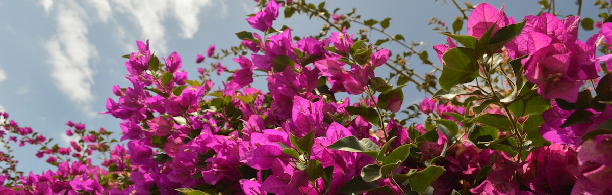 Bougainvillea on Sal island, Cape Verde